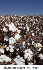 Raw agricultural cotton plants, white at harvest in the field.