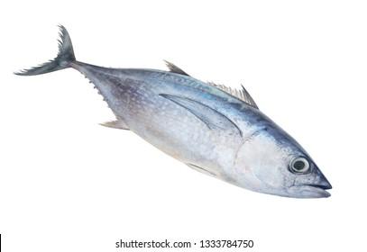 Raw albacore tuna fish isolated on white background