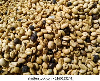 Raw Arabica coffee beans dry process under a sunlight.