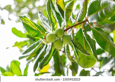 Raw ball fruits or green ball nut of Alexandrian laurel, Beautiful-leaf, Bornero mahogany, Indian laurel (Calophyllum Inophyllum) on tree in the tropical forest