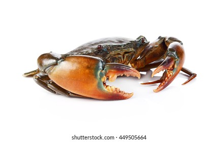 Raw black crab  on white background