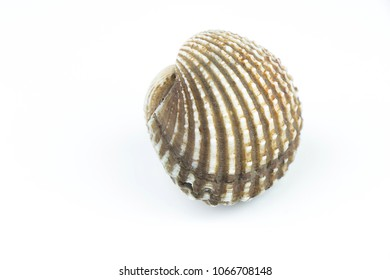 Raw cockle isolated on white background.