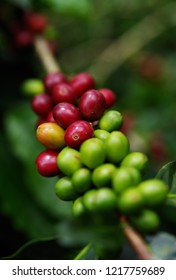 Raw coffee beans