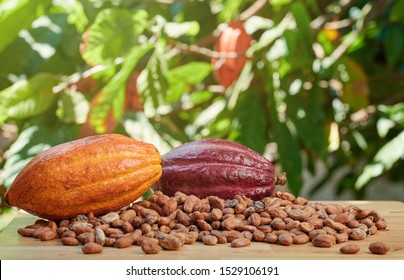 Raw colorful cacao ripe on table in sunny plantation background