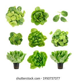 Raw fresh boston lettuce salad or butterhead isolated on white background. Set of green leaf salat plant and spinach leaves top view - Shutterstock ID 1950737377