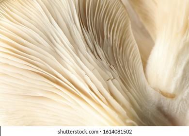 Raw fresh oyster mushrooms textured background, macro