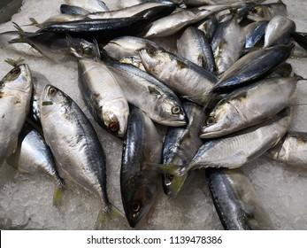 Raw fresh whole tuna fish on crushed ice. Eastern little, Thunnini, Longtail tuna, Northern bluefin tuna