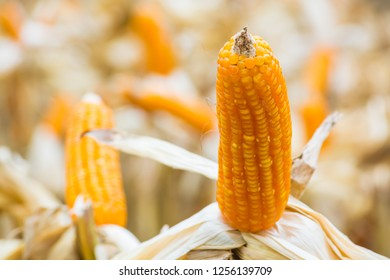 Raw Fresh Yellow Corn Cobs with Dry Plant in Field or Meadow wait Harvesting as Agro-industrial or Agriculture Farming concept.