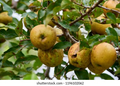 Raw golden apples ripe up in the tree ready to be picked/ harvest