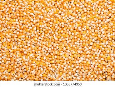 Raw golden sweet corn popcorn grain seeds texture background