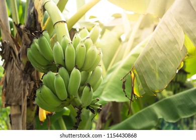 Raw green bananas in garden with leave background