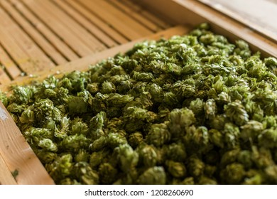 Raw green beer hops selected for brewing