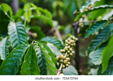 Raw green coffee beans on tree in plantation. Coffee plants with leaf and  of berries . Green coffee close up view.  Harvest concept. The agricultural background. Selective focus.