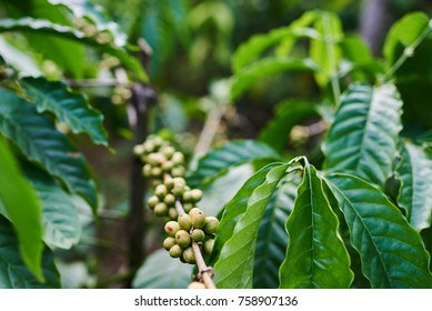 Raw green coffee beans on tree in plantation.  Plants with leaf and of berries. Close up view. Harvest concept. The agricultural background. Selective focus.