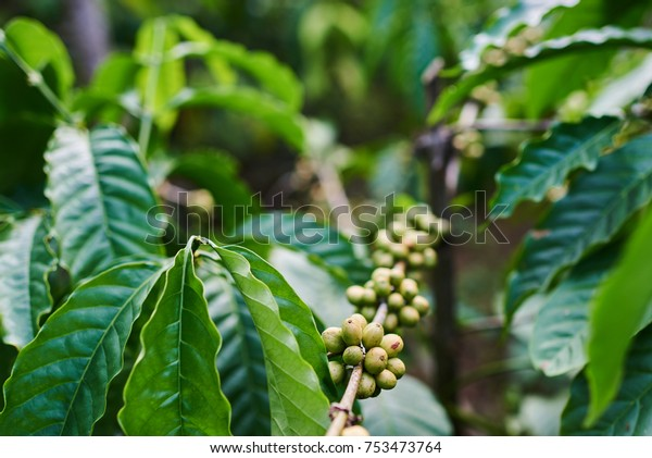 Raw Green Coffee Beans On Tree Stock Photo Edit Now 753473764