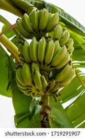 raw green cultivated banana bunches on  banana plant