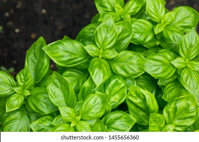 Raw Green Organic Basil Plant Ready to Cook With