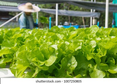 Raw Green Salad Lettuce Growing in Plastic Pipe in Hydroponics Organic Agriculture Farm System as Modern Agro industrial Farming.