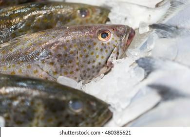 Raw grouper fish on ice