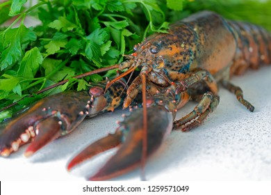 A raw lobster. Background: parsley.
