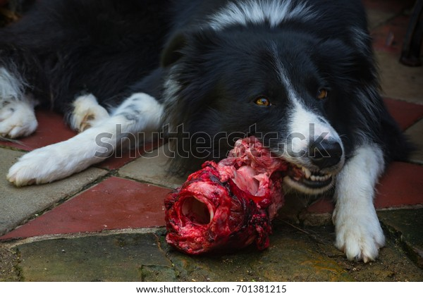 raw meat, Border Collie, dog