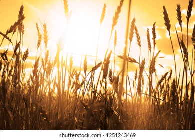 Raw natural food background. blue sunset sky with clouds over rural scene green autumn wheat  field. Sunny evening rays