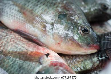 Raw nile tilapia fish