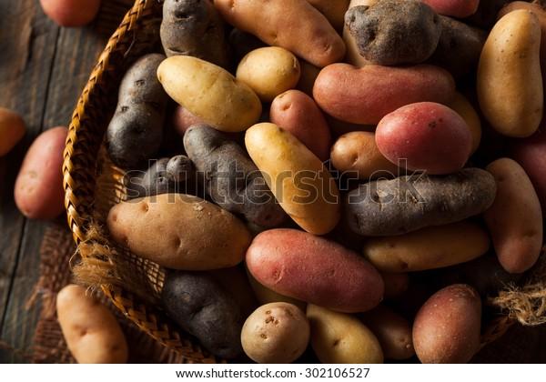 Raw Organic Fingerling Potatoes in a Basket