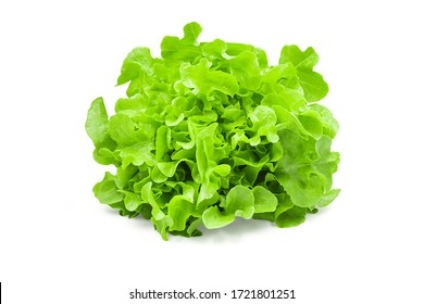 Raw organic green oak lettuce on white isolated background with clipping path. Fresh green oak lettuce have high fiber and vitamin, sweet taste, crisp, delicious for salad. Food and vegetable concept.
