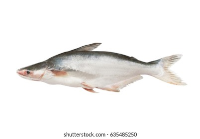 Raw pangasius fish isolated on white background