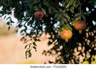 Raw pomegranate fruits in a tree (punica granatum).