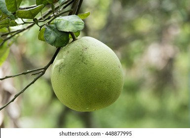 raw pomelo