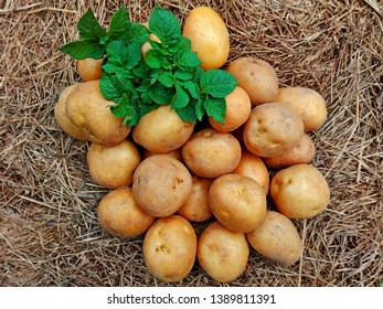 Raw potatoes pile harvest closeup & potatoes leaf on organic farm. Potatoes plant vegetable harvest from agriculture field. Crop on hay ground top view. Fresh organic rural potatoes harvest in field.