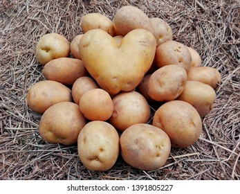 Raw potatoes pile harvest closeup & potatoes heart on organic farm. Potatoes plant vegetable harvest agriculture field. Potato crop on hay ground top view. Fresh organic rural potatoes harvest field