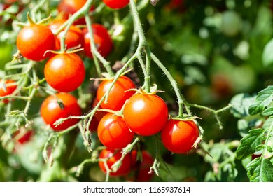 Raw Red Tasty Cherry Tomatoes on a Branch