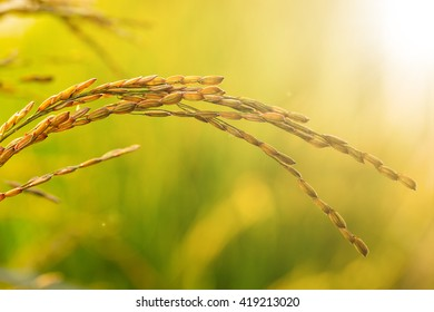 Raw Rice flield agriculture plant in the nature.