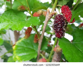 Raw and ripe mulberry fruits on tree branch with green leaves.