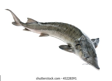 Raw sturgeon isolated on white