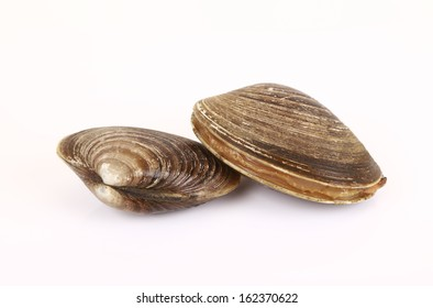 Raw wet clams on a white background.