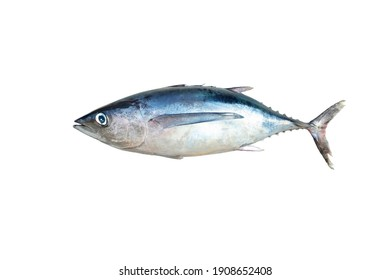 Raw whole fish, northern albacore (Thunnus alalunga) of cantabrian sea isolated on white background