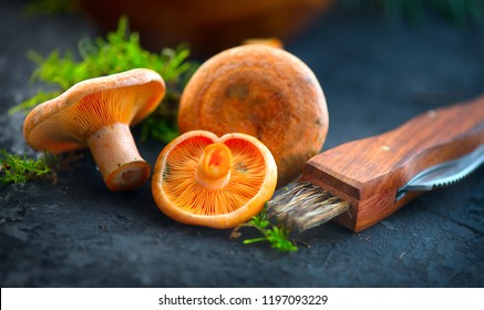 Raw wild Saffron milk cep mushrooms on dark old rustic background. Lactarius deliciosus, Rovellons, Niscalos mushroom closeup. Organic Fresh ceps with special knife on a table. Soft focus