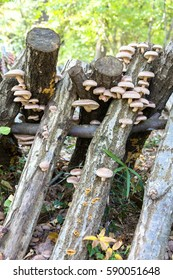 Raw wood cultivation of the mushroom