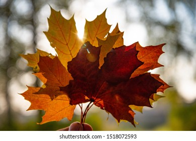 Ray of light through maple leaves. Autumn background, bright colors of autumn.