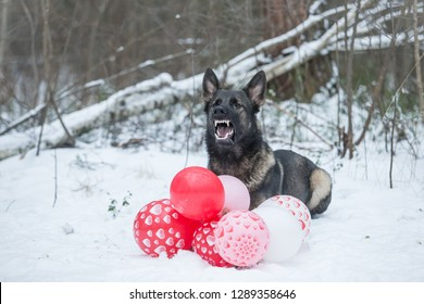 ray working line German shepherd dog angry on valentines day – heart brake