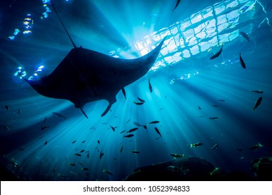 Rays Behind Sting Ray with fish from underneath
