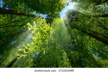 Rays of light beautifully falling through the green foliage and enhancing the scenery of a beautiful lush tree canopy in a forest