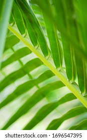 Rays of the sun through palm leaves. Soft focus. Jungle nature. Close-up of a saturated green palm leaf