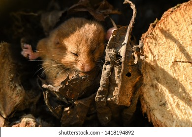 The rays of the sun wake the animal. Hazel dormouse (Muscardinus avellanarius). Bieszczady Mountains. Poland