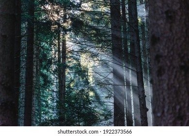 Rays of sunlight break through in the misty pine tree forest