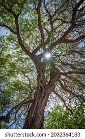 Rays of sunlight peek through the long tangled branches of a Hawaiian Koa tree found on a beach in Lahaina, Maui, Hawaii.